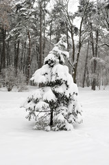 Lonely fir-tree covered with snow