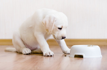 White puppy sitting near his plastic bowl with food