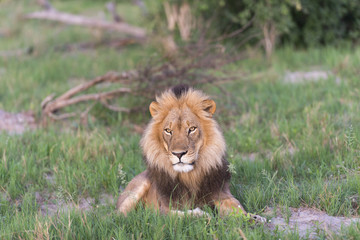 Male Lion in the late afternoon