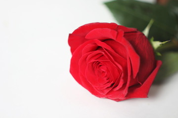 The red rose is on a white