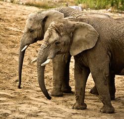 Obraz elephants (Loxodonta africana) - fototapety do salonu