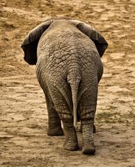Obraz elephant (Loxodonta africana) - fototapety do salonu