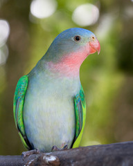 a portrait of a princess parakeet