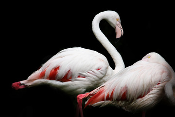 weißer Flamingo