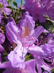 Tibouchina Urvilleana Flowers
