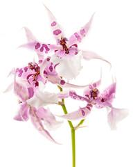 """Orchideenblüte (Odontoglossum """"Beallara Peggy Ruth Carpenter"""")"""