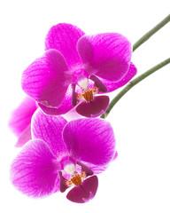 """Orchideenblüte """"Phalaenopsis"""""""