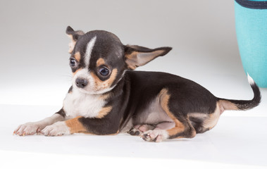portrait of a cute purebred puppy chihuahu