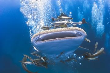 Whaleshark moving underwater