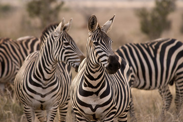 Aluminium Prints Zebra Giraffes, Tsavo est