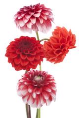 Poster Dahlia dahlia