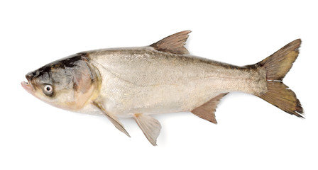 Fish Silver Carp, Hypophthalmichthys Molitrix