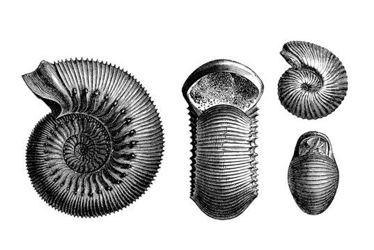 Prehistory : 2 Ammonits  (Jurassic)