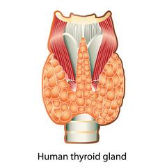 Human thyroid gland