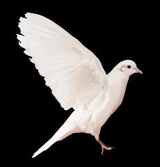 Dove over black