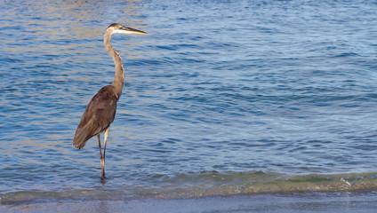 heron on a sunny beach in florida