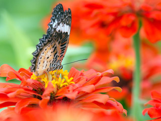 image of a butterfly on a pink Zinnia