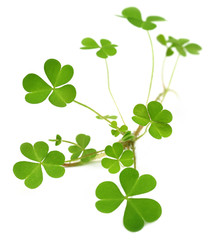 Decorative clover plant over white background
