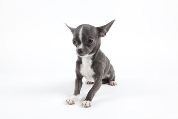 Chihuahua bleu