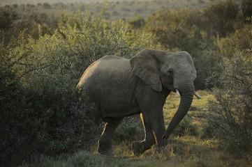 Elefante nel suo ambiente naturale