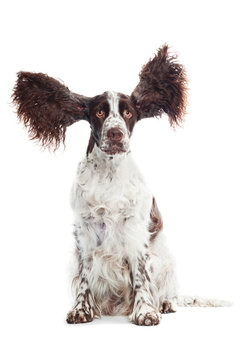 funny springer spaniel with flying ears