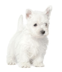 Wall Mural - West Highland White Terrier puppy