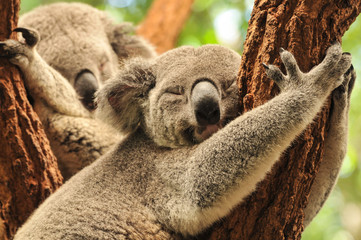 Photo sur Aluminium Australie Sleeping koalas