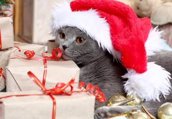 beautiful British cat and New Year's cap
