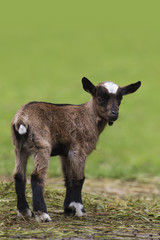 Brown baby goat
