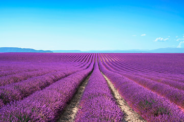 Photo sur Aluminium Prune Lavender flower blooming fields on sunset. Valensole provence