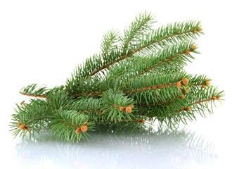 fir tree branch, isolated on white