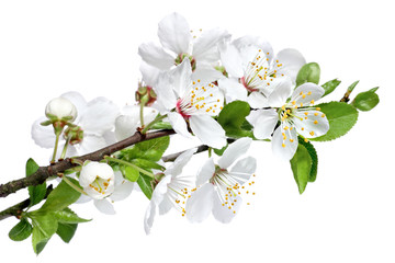 Spring blossom isolated on a white background