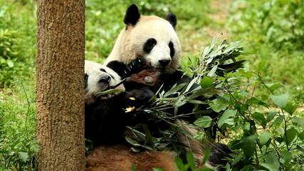 Wall Mural - Giant panda bear eating bamboo