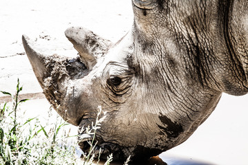 Portrait of a black (hooked-lipped) rhinoceros, South Africa