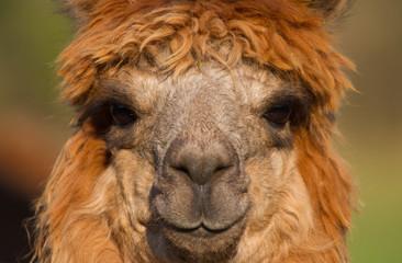 Alpaca face of female