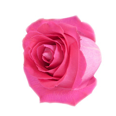 Head of pink rose isolated on white