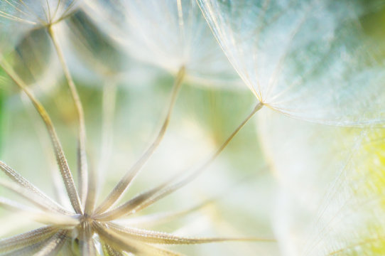 abstract dandelion flower detail background, closeup with soft f