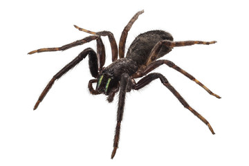 black spider species tegenaria sp