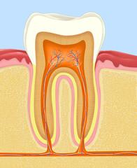 cross-section of the human teeth