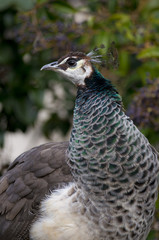 Portrait of a female Peacock