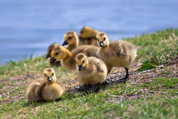 Canada goose goslings in the grass at lakeside