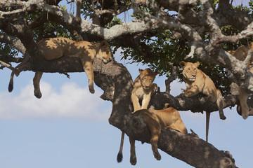 lion pride on tree