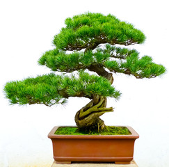 Poster Bonsai Bonsai pine tree