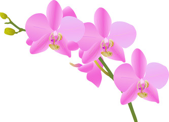 bright pink orchid branch on white