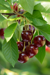 Sweet cherries hanging on the tree