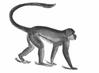Affe - Grüne Meerkatze / Vektor