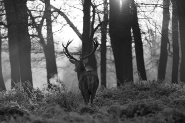 Fototapete - Red deer in Richmond park