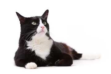 Beautiful black and white cat looking up against white