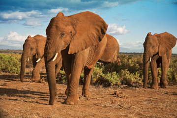 African elephant matriarchy against a blue sky