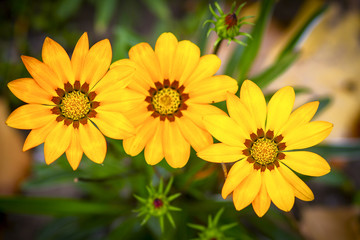 three large yelow flowers with green leaves in garden